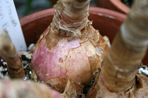 Bulbs Planting And Care
